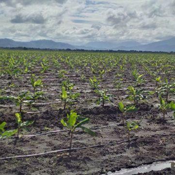 Bananenplantage in Trou-du-Nord, Nord Est, Haïti